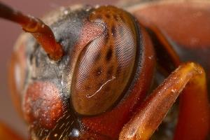 DESCRIÇÃO DA IMAGEM: a foto mostra a cabeça de uma vespa com antena única.
